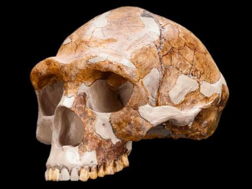 homo erectus skull