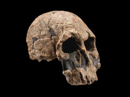 homo rudolfensis skull