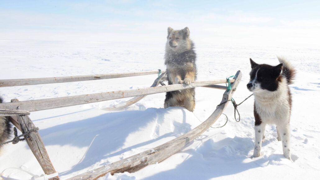 two Siberian sled dogs