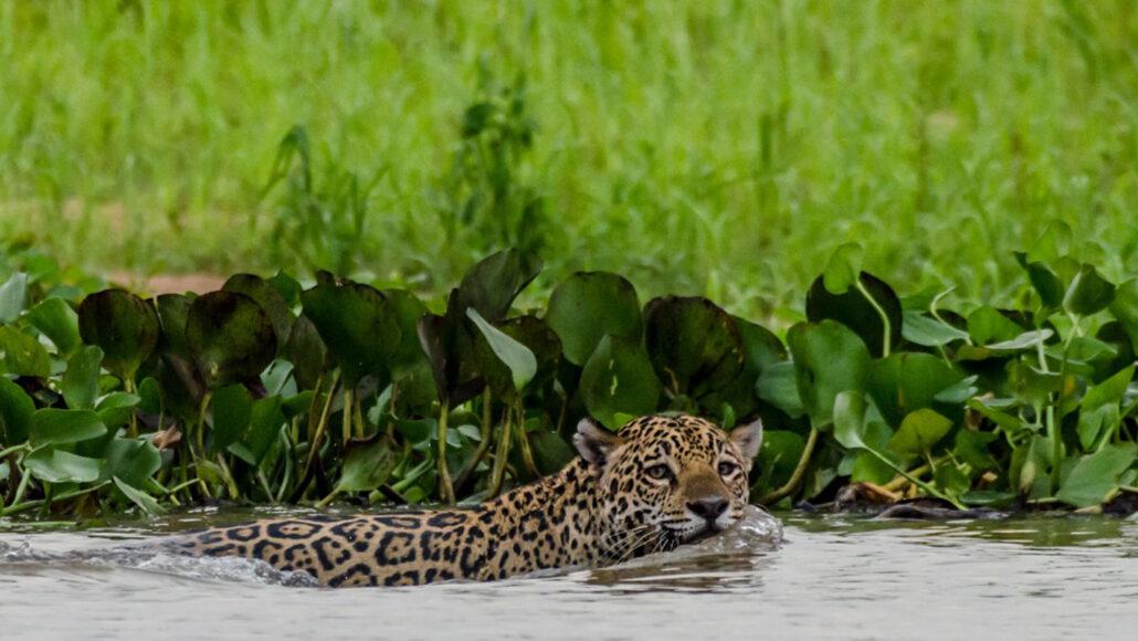a jaguar swimming in water