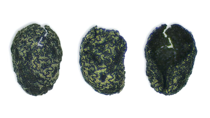an ancient burned tobacco seed shown from three angles