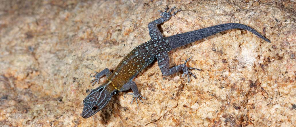 A gecko with a spotted bluish body and a hazy yellow section on its back