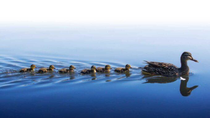 mallard ducklings swimming behind a mother duck