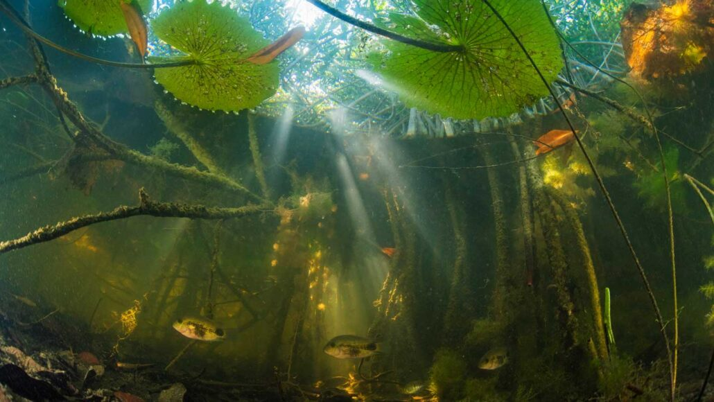 Fish swimming around roots of red mangrove forest