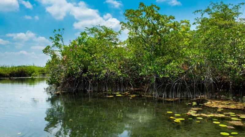 Red mangroves in the San Pedro Mártir River, seen from a distance on a sunny day