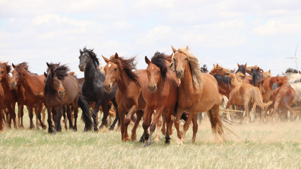 a herd of horses running across grassland in Mongolia