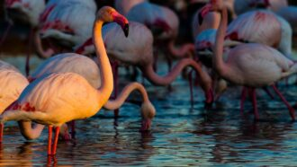 A flock of greater flamingos standing in water
