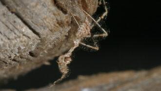 image of a Stenolemus bituberus assassin bug