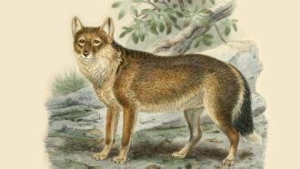 illustration of Falkland Islands wolf