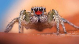 close-up of a jumping spider, with hairy legs, a hairy body, and four eyes